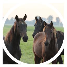 opfok_paarden